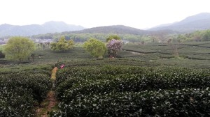 A view to south from the JiuLiSong Tea Field area sml